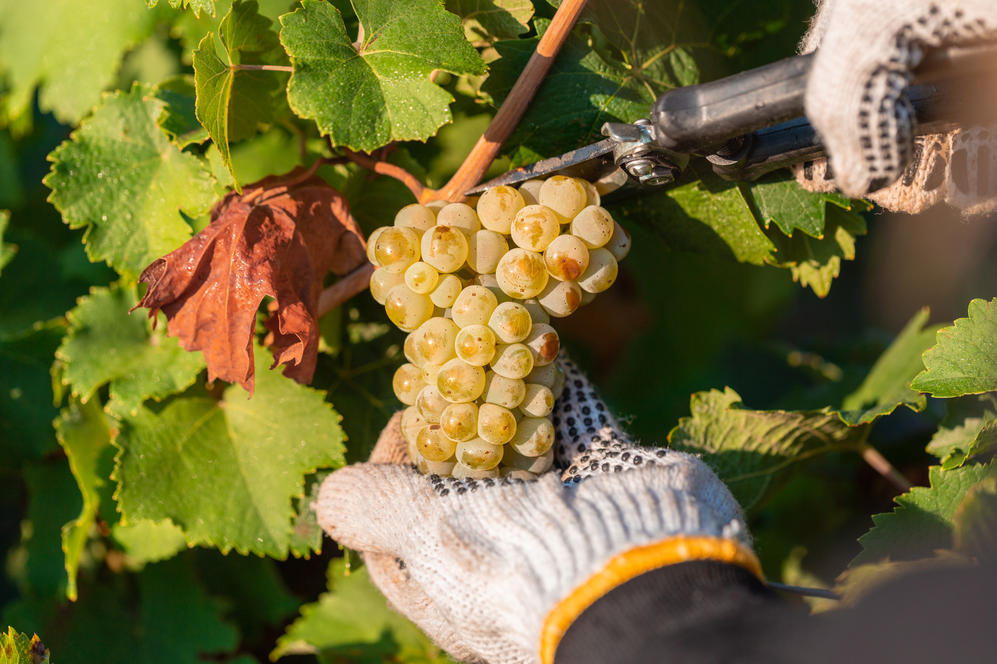 MORE THAN 10,000 TONS OF GRAPES HARVESTED IN KOBLEVO
